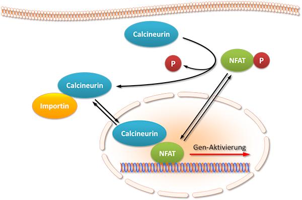 Der Calcineurin-NFAT-Signalweg